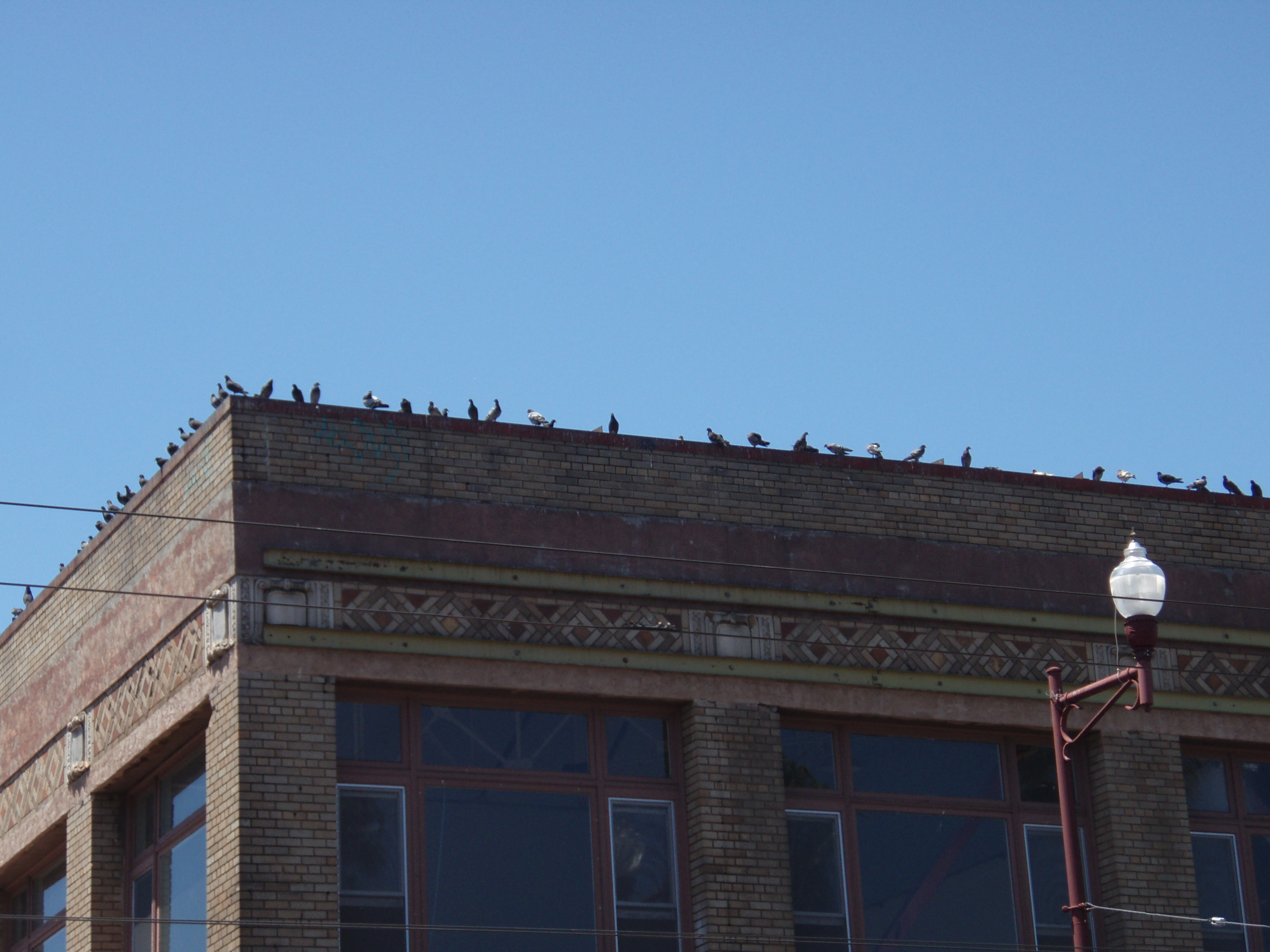 I was surprised to see all the pigeons that loiter at 24th and Mission not know how to handle all the people and take refuge on a neighboring roof.  NYC pigeons they are not.