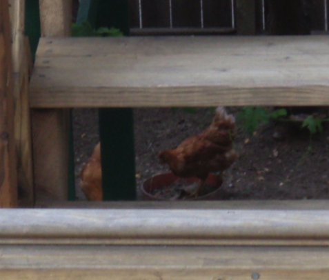 ZOMG CHICKENS